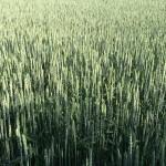 Ei GMO:lle sekä globaaleille agrijäteille.